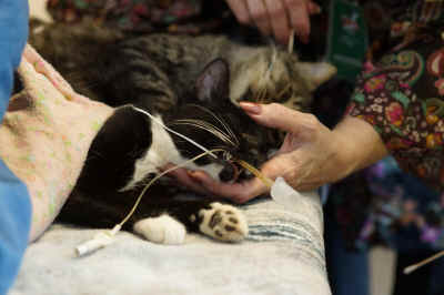 A black and white tuxedo patterned feral cat's head his held in the post-operative recovery room with an air passageway tube in it's mouth. The Humane Society of Yuma spayed this feral cat for free on Saturday's Feral Cat Day and 19 October Fall Festival.