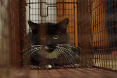 This green eyed Tuxedo cat sits caged in line for the Humane Society of Yuma's Feral Cat day, TNR (Trap, Neuter, and Release) funded program, Saturday. Evidence of the Release program's effectiveness in reducing noise, smells and population problems over Euthanasia efforts are demonstrated in programs Nationwide.