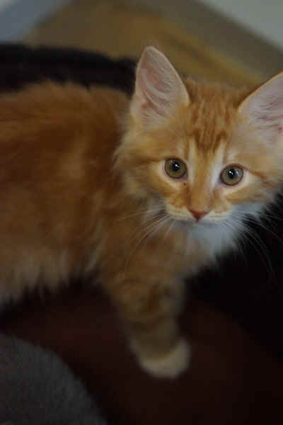This orange and white bicolor cute kitten's stare reveals the magnetic cat appeal that draws friends into his world. The Humane Society of Yuma opens this 4050 South Avenue 4 1/2 E, Yuma, Arizona feline playroom for prospective adoptions on Feral Cat Day, Saturday.