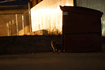 Open alleyway dumpsters provide a viable food source for agile cats able to enter and exit containers with ease.  Smelly treats suck this hungry feral cat in to retrieve the tasty discarded morsels, on this 3rd Avenue alleyway near 2nd Street in Yuma, Arizona, at 10:00 pm Saturday night.
