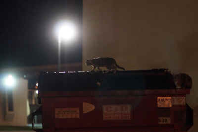 Stalking the rim of C&D Disposal's dumpster, a feral cat surveys it's treasure before diving in for a Yuma, Arizona treat behind the Derailed Saloon early Sunday morning.