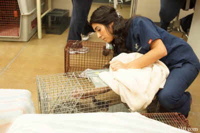 HSOY Veterinary Technician Supervisor, Victoria Sarabia injects a Feral Cat before removing her from the trap for a spaying operation on Saturday's fully funded Trap, Neuter and Return program for Yuma's wild feline population.